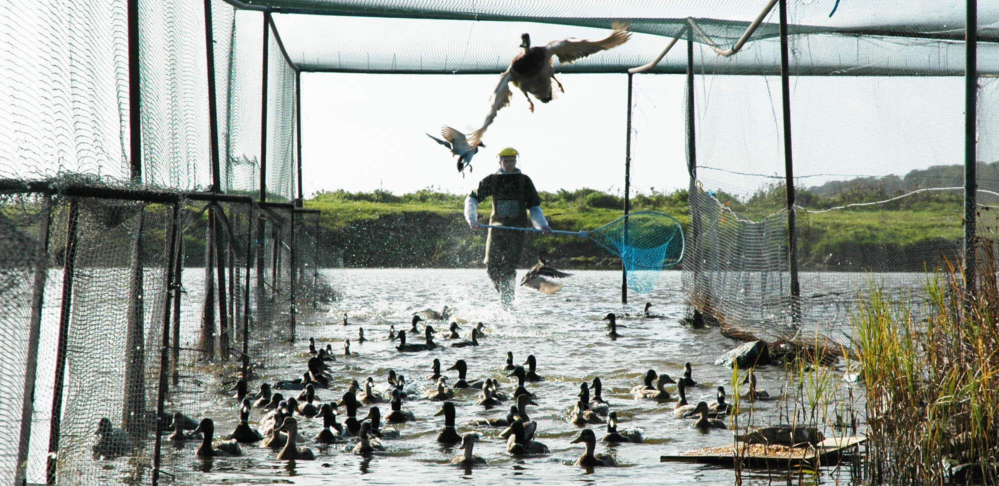 Ducks being captured for research at Ottenby Bird Observatory