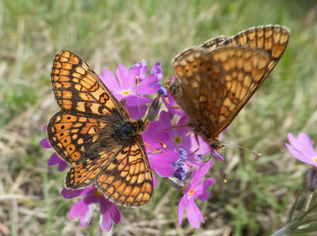 The threatened butterfly marsh fritillary on the flower Primula farinose.