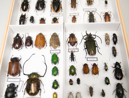 Beetles in the lab.
